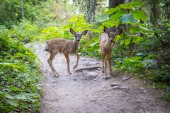 广泛漫游在冰川国家公园的鹿 库存图片