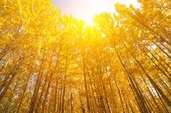 广角看法白杨木树 库存照片