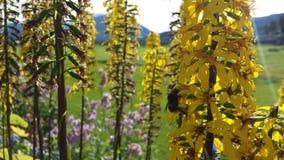 庄严五颜六色的黄色花在与努力工作在会集的小bumbebee的夏天阳光下花粉 库存图片