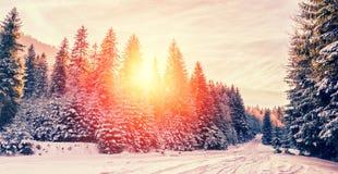 庄严冬天横向 在阳光下的冷淡的杉树在日落 圣诞节假日概念,异常的美妙的风景 Fant 免版税库存照片