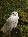 庄严多雪的猫头鹰,捷克 免版税库存照片
