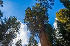 庄严巨型美国加州红杉红木树 免版税库存照片