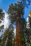 庄严巨型美国加州红杉红木树 免版税库存图片