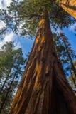 庄严巨型美国加州红杉红木树 库存图片