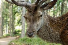 庄严强有力的成人鹿画象在一个森林里在Sumava 库存图片