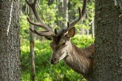 庄严强有力的成人鹿画象在树中的在一个森林里在Sumava 图库摄影