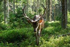 庄严强有力的成人鹿画象树在一个森林里在Sumava 库存照片