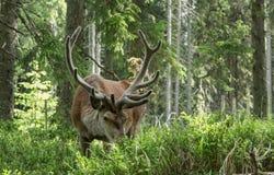 庄严强有力的成人dee在一个森林里在Sumava 图库摄影