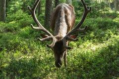 庄严强有力的成人dee在一个森林里在Sumava 免版税库存图片