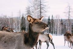 庄严成人马鹿画象在冬天森林里 图库摄影