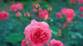 庄严桃红色玫瑰开花的花嫩开花精美自然灌木植物在4k的植物园里紧密射击 股票视频