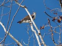 庄严白鹭的羽毛在一个冷的晴天 库存照片
