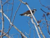 庄严白鹭的羽毛在一个冷的晴天II 库存图片