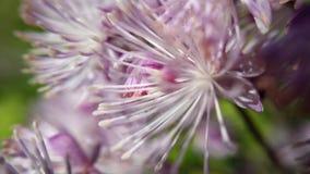 庄严紫罗兰色和白色夏天开花宏观照片 免版税库存图片