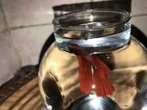 庄严红色Betta的鱼 库存照片