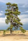 庄严苏格兰松树,生长在hoge veluwe的干燥欧石南丛生的荒野 免版税库存照片