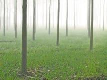 庄园农厂有雾的印度有薄雾的白杨树 免版税库存图片