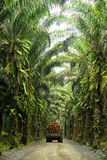 庄园油棕榈树 免版税库存图片
