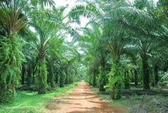 庄园油棕榈树 免版税图库摄影