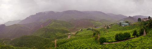 庄园马来西亚多雨茶 免版税库存图片