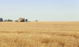 庄稼成熟麦子 免版税库存图片