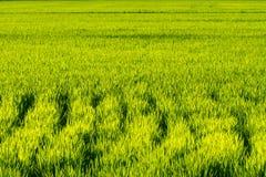 庄稼米 免版税库存图片