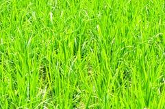 庄稼绿色稻 库存图片