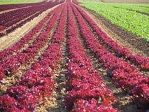 庄稼莴苣的农业领域五颜六色的彩虹行种植,包括绿色,红色,紫色品种 免版税库存图片