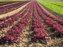 庄稼莴苣的农业领域五颜六色的彩虹行种植,包括绿色,红色,紫色品种 图库摄影