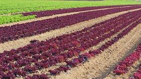 庄稼莴苣的农业领域五颜六色的彩虹行种植,包括绿色,红色,紫色品种 库存图片