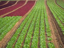 庄稼莴苣的农业领域五颜六色的彩虹行种植,包括绿色,红色,紫色品种 免版税图库摄影