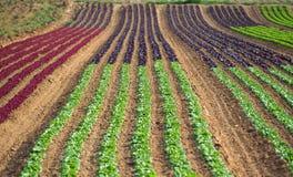 庄稼莴苣的农业领域五颜六色的彩虹行种植,包括绿色,红色,紫色品种 免版税库存照片