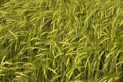 庄稼麦子 库存照片