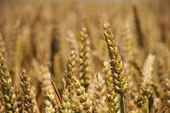 庄稼麦子 库存图片