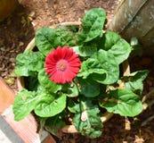 庄他武里的红色非洲雏菊植物 库存图片