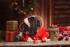 庆祝圣诞节和新年与装饰和礼物的逗人喜爱的滑稽的狗 免版税库存照片