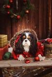 庆祝圣诞节和新年与装饰和礼物的逗人喜爱的滑稽的狗 库存图片