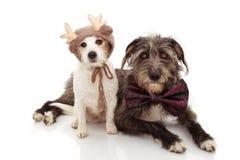 庆祝圣诞节的两条狗 杰克佩带驯鹿和BOWTIE假日的罗素和护羊狗 背景查出的白色 图库摄影