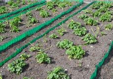床用草莓和大蒜在一个庭院站点在春天 免版税图库摄影