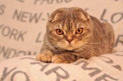 床罩的猫旅客 免版税图库摄影