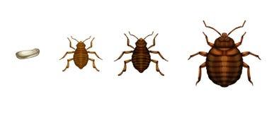 床铺臭虫生命周期-臭虫属lectularius 免版税图库摄影