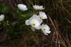 库克山百合群,亚瑟的通行证国家公园 库存图片
