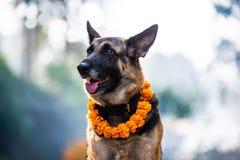 库库尔Tihar狗节日在加德满都,尼泊尔 免版税库存图片