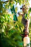 应用杀虫药肥料的花匠于他的果子灌木 库存图片