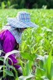 应用玉米的,在早晨光的透明麦地的女性拉祜部落农夫肥料 ?? 清莱,北部 免版税库存照片