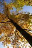 从底视图的秋季五颜六色的树 免版税图库摄影
