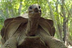 从底部的阿尔达布拉环礁巨型草龟 免版税库存图片