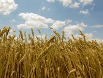 从底部的麦子 库存照片