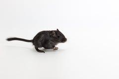 废弃物蒙古沙鼠,沙漠之鼠 免版税库存图片