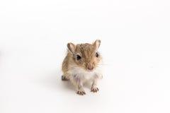 废弃物蒙古沙鼠,沙漠之鼠 库存图片